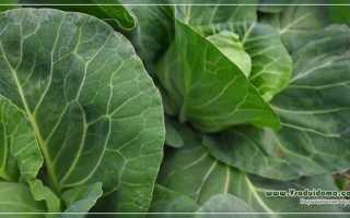 Борьба с вредителями капусты — народные средства и советы, Сайт о саде, даче и комнатных растениях