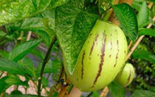 Пепино посадка и уход в открытом грунте, фото, размножение, выращивание из семян в домашних условиях