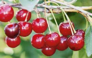 Вишня Уральская рубиновая: описание сорта, правила посадки и ухода