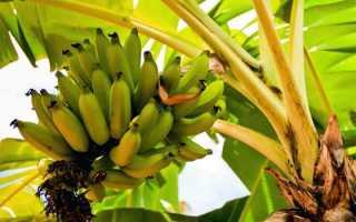 Как вырастить банан в домашних условиях из семян