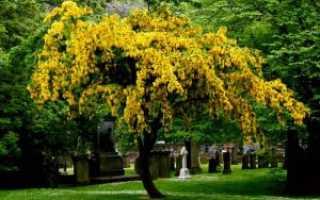 Бобовник описание видов и популярных сортов — золотого дождя