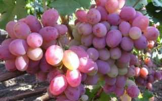 Виноград Память Хирурга: описание сорта, особенности выращивания и отзывы