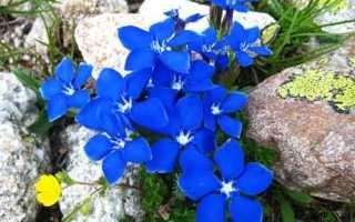 Горечавка – выращивание, посадка и уход в открытом грунте