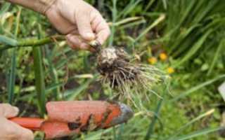 Технология выращивания чеснока озимого и уход за ним с видео