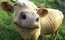 Знакомимся с лучшими породами мясных коров