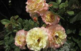Роза «Акварель»: характеристика и сортовые отличия
