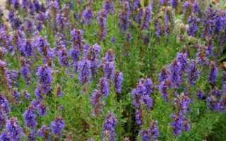 Синий зверобой, как вырастить в саду, особенности растения, видео