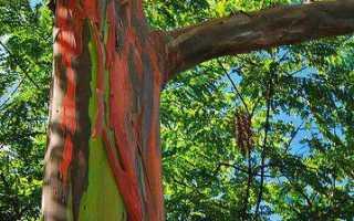 Дерево эвкалипт — описание, особенности, виды, сферы применения