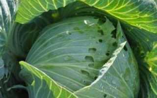 Капустные вредители — еще не приговор! Советы огороднику