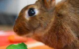Можно ли давать кроликам огурцы?