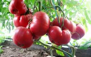 Томат розовый мед: характеристика и описание сорта, выращивание и борьба с вредителями