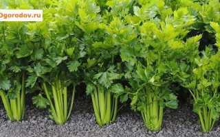 Сельдерей – посадка, уход и выращивание в открытом грунте