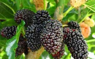 Применение шелковицы, польза и вред для здоровья человека