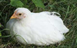 Почему у цыплят опущены крылья, что делать, фото и видео