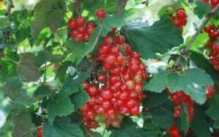 Смородина красная: польза и вред для здоровья, калорийность