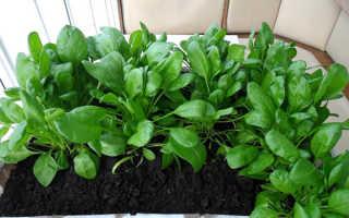 Выращивание шпината на подоконнике зимой, посев, видео