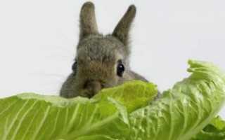 Можно ли давать кроликам капусту (белокочанную, пекинскую, цветную, квашеную)