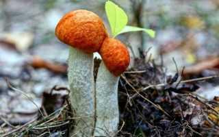 Осенние грибы: съедобные, названия, какие собирают, фото