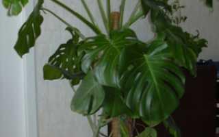 Уход за монстерой: как ухаживать и размножать цветок в домашних условиях, фото