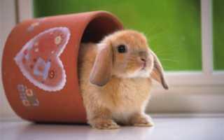 Карликовые кролики: уход, содержание в домашних условиях