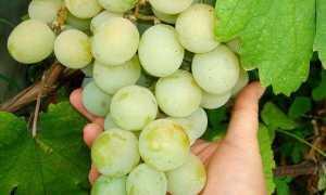 Виноград Кеша: описание сорта, фото, отзывы
