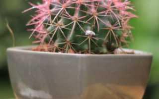Эхинокактус: виды и особенности выращивания в домашних условиях