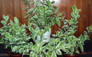 Педилантус: уход в домашних условиях, выращивание, размножение, посадка, пересадка, обрезка, виды, фото растения