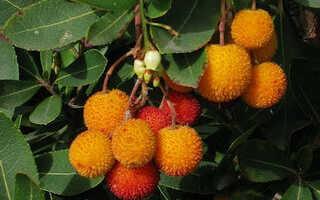 Земляничное дерево: фото и выращивание в домашних условиях из семян