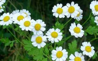 Пиретрум: выращивание и уход в открытом грунте, РАСТЮНЬКА