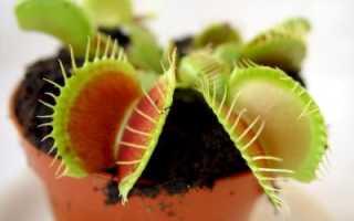 Венерина мухоловка: уход, чем питается, как вырастить мухоловку из семян — Популярно о здоровье