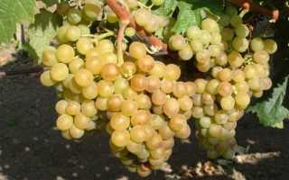 Выращивание винограда Кишмиш: как посадить, уход, знаменитые сорта