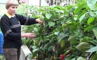 Как выращивать перец: особенности и правила выращивания сладкого перца, правильный уход за перцем
