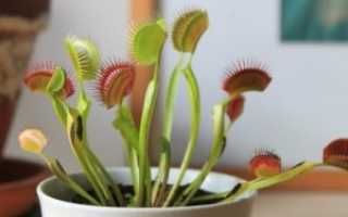 Венерина мухоловка: посадка и размножение растения в домашних условиях