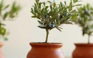 Олива в домашних условиях: выращивание и уход