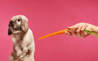 Почему кролик скрипит зубами, не ест и не пьет?