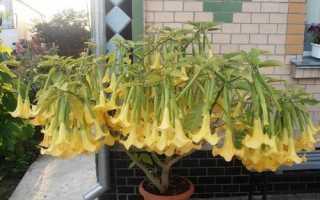 Бругмансия — выращивание из семян в домашних условиях, видео