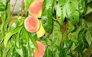 Вредители персика — как бороться со щитовкой, обработки, видео