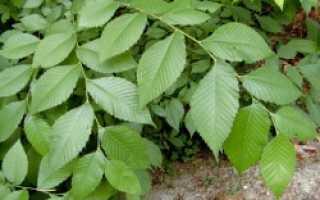 Кора вяза ржавого (скользкого) — лечебные свойства и противопоказания, применение