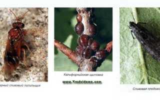 Защита сливы от вредителей и болезней (ФОТО И ОПИСАНИЕ), Сайт о саде, даче и комнатных растениях