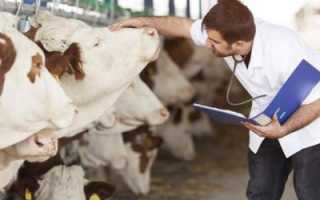 Выпадение матки у коров после отела: причины и лечение