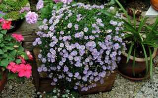 Брахикома: фото цветов, выращивание из семян, когда сажать, посадка и уход