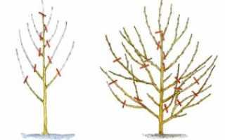 Обрезка персика весной: схема и нюансы по проведению работ видео