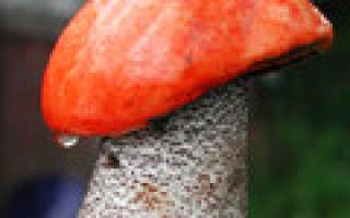 Магические и полезные свойства подосиновика — красного гриба удачи