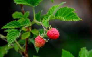 Заготовка листьев малины: когда собирать и как сушить листья малины ( отзывы)
