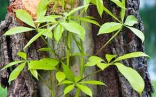 Как избавиться от поросли сливы, вишни и других деревьев и кустарников