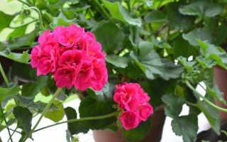 Чем подкормить герань для обильного цветения дома Желтеет герань чем подкормить осенью зимой и летом