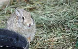 Тепловой, солнечный удар: как лечить кроликов, профилактика