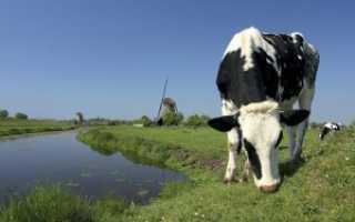 Что нужно знать о голландской корове?