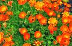 Календула — выращивание из семян, посадка и уход в открытом грунте, видео