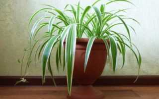 Как ухаживать за хлорофитумом в домашних условиях и вырастить здоровое растение